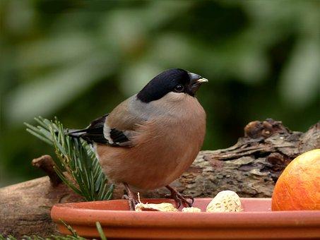 Bird, Bullfinch, Female, Foraging, Close Up, Garden