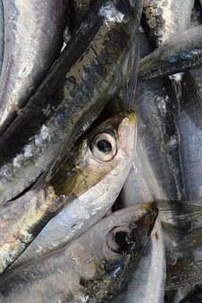 Fish, Sardines, European Sardine, Fang, Fishing, Frisch