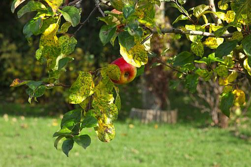 Apple, Harvest, Forget, Last, Autumn, Delicious, Red