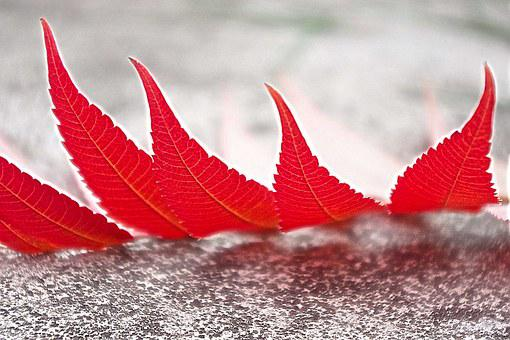 Foliage, Red, Autumn, Leaves, Macro, Color, Coloration