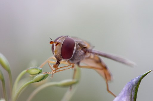 Hover Fly, Eye, Nature, Fly, Hover, Insect, Macro, Wing