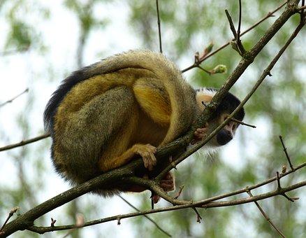 Capuchin, Capuchins, Monkey, Creature, Cebus