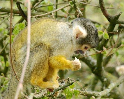 Capuchins, Monkey, Capuchin, Cute, Cebus