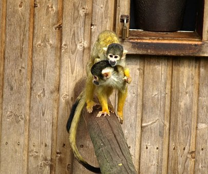 Capuchins, Mother And Child, Monkey, Cute, Cebus