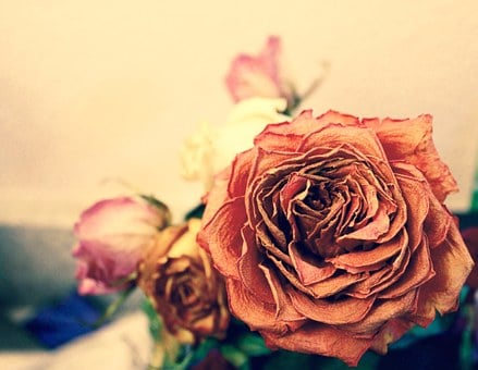 Rose, Dead, Orange, Yellow, Pink, Flower, Pretty