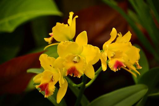 Orchids, Cymbidiums, Flowers, Exotic, Tropical, Yellow