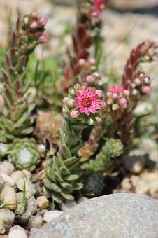 Succulent, Plant, Pink, Flowers, Blooming, Rock
