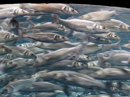 Fish, Swarm, Movement, Sardines, Aquarium, Fish Swarm