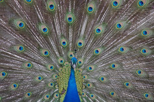 Peacock, Philadelphia, Zoo, Iridescent, Animal, Bird