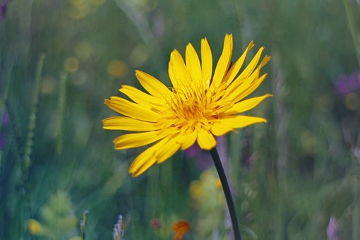 A Goatee, Meadows Dubius, Blossom, Bloom, Flower