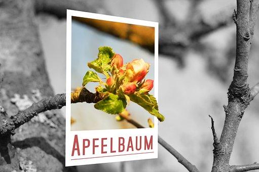 Apple Tree, Apple, Blossom, Bloom, Polaroid