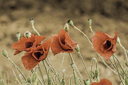Corn Poppy, Papaver Somniferum, Field Poppy, Maky