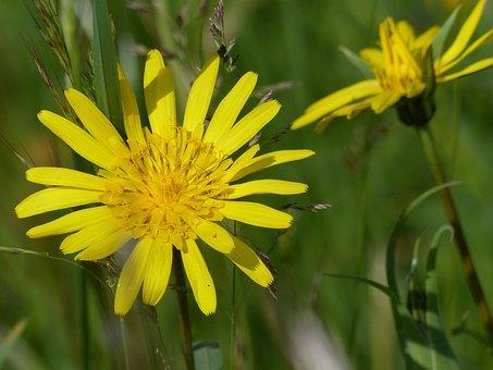 Had Salsify, Pointed Flower, Flower, Plant, Flora