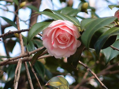 Gunsan, Camellia Flower, Fold The Camellia, Flowers