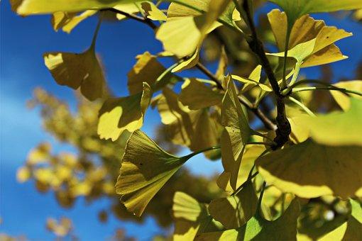 Ginko, Leaves, Ginko Tree, Nature, Autumn, Yellow