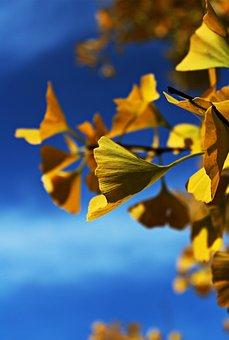 Ginko, Ginko Tree, Tree, Leaves, Nature, Yellow, Autumn