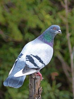 Palomo, Lookout, Palo, Oteando, Bird, Fauna