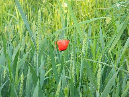 Corn, Spring, Macro, Poppy, Flower, Red, Nature, Blooms
