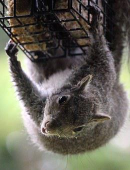 Squirrel, Outdoor, Suet, Wildlife, Rodent, Animal, Grey
