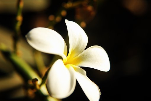 Flower, Plumeria, Frangipani, Yellow, Temple Tree