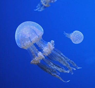 Jellyfish, Ocean, Aquatic Life, Animal, Tentacles
