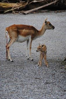 Blackbuck, Dam, Young Animal, Birth, Umbilical Cord
