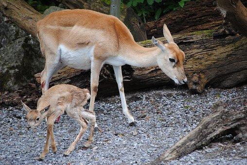 Blackbuck, Dam, Young Animal, Zoo, Zurich