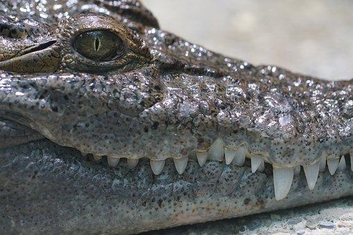 Philippines Crocodile, Freshwater, Crepuscular, Animal