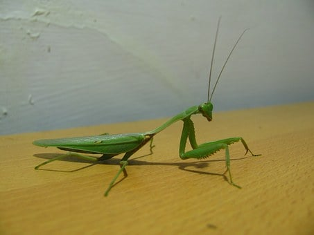Praying Mantis, Insect, Mantis, Praying, Bug, Macro