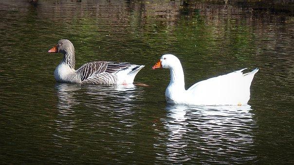Goose, Toulouse Goose, Bird, Water Bird, Feather