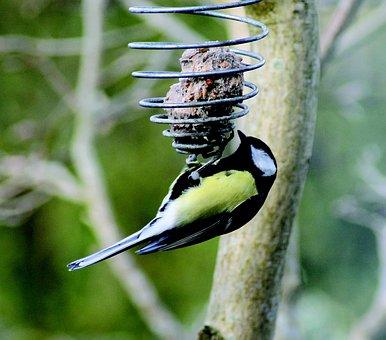 Titmouse, Bird, Natural, Mealtime, Food, Spring