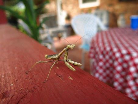 Mantis, Praying, Insect, Green, Bug, Nature, Macro