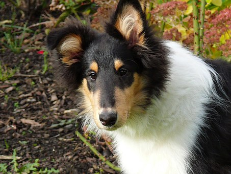 Collie, Dog, Tricolor, Long Haired Collie, Puppy, Young