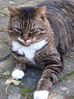 Cat, Domestic Cat, Nose, Cat's Eyes, Mieze, Curious
