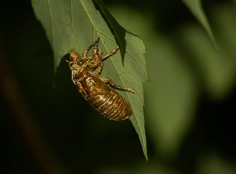 Cicada, Cicadoidea, Insect, Exoskeleton, Molt, Bugs