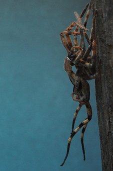 Spider, Arachnid, Moult, Rain Spider, Palystes