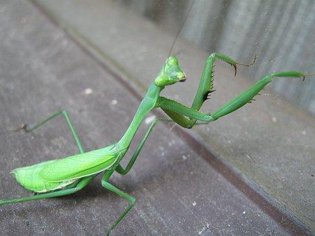 Praying Mantis, European Mantis, Mantodea, Insect