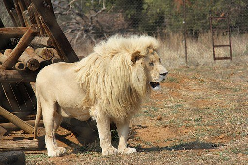 Lion, Predator World, Pilanesberg National Park, Big5