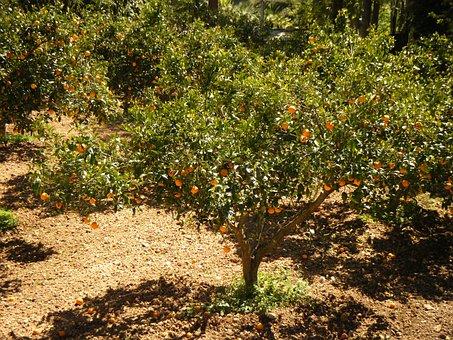 Mandarin, Field, The Cultivation Of, Sad, Trees, Tree