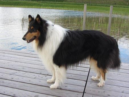 Collie, Tricolor, Long Haired Collie, Purebred Dog