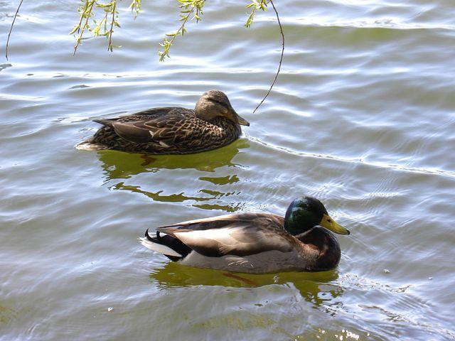 Ducks, Water, Pond, Wildlife, Beak, Wild, Feather