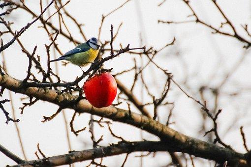 Chickadee, Winter, Apple