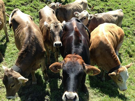 Cattle, Pasture, Agriculture, Types, Livestock, Animals