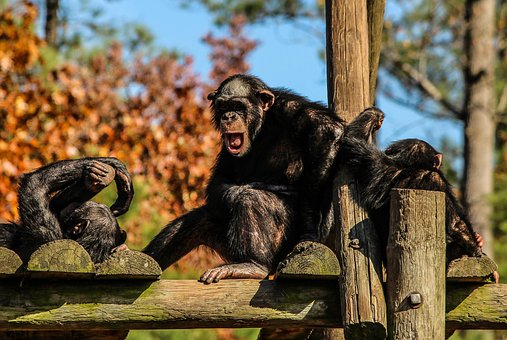 Chimpanzees, Chimps, Chimp Family, Apes, Hominidae
