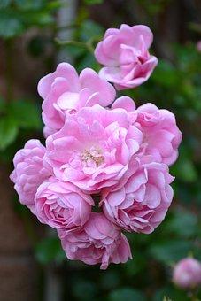 Button Rose, Baby Pink Roses, Floribunda, Rambling Rose