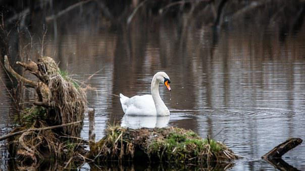 Swan, Bird, White, Water Bird, Feather, Water, Pond
