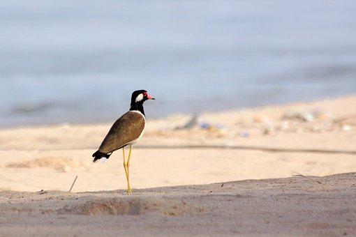 Kraแtแtgแwgd, Sandy Beach, Sea, Birds, Poultry