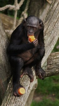 Bonobo, Monkey, Primate, Eating, Wildlife, Chimpanzee