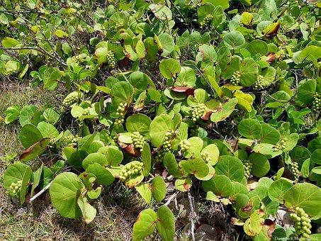 Grape Plant, Plant, Coccoloba Uvifera, Flowering Plant