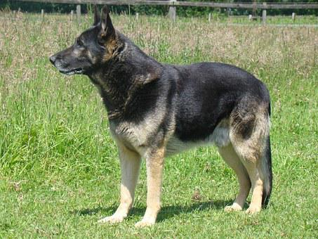 German Shepherd, Schäfer Dog, Dog, Pet, Wachhud
